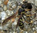 potter wasp - Parancistrocerus leionotus