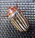 Screen Door Beetle - Polyphylla