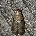 Oreana unicolorella