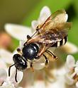 Bee on milkweed - Lasioglossum