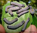 Tubulent Phosphila Caterpillars - Phosphila turbulenta