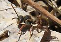 Wasp - Nomada - male