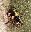 Carrion Beetle? - Nicrophorus sayi