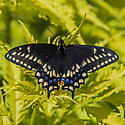 Unknown Butterfly - Papilio polyxenes