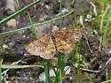 Moth sp - Ematurga amitaria