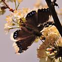 Black butterfly - Nymphalis antiopa