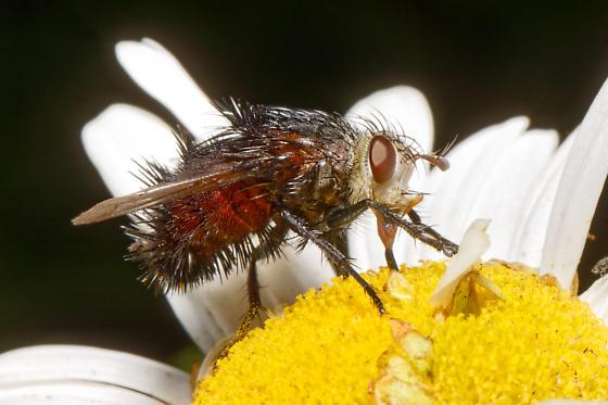 Giant black fly (?) on Montauk Daisy blossom - Juriniopsis adusta - female
