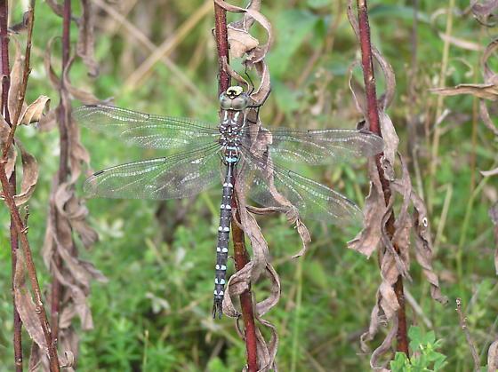 Dragonfly - unidentified - Aeshna tuberculifera