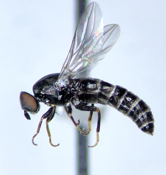 Scenopinus - female