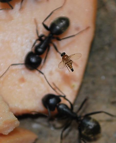 phorid hovers above Camponotus pennsylvanicus at bait - Apocephalus coquilletti - female