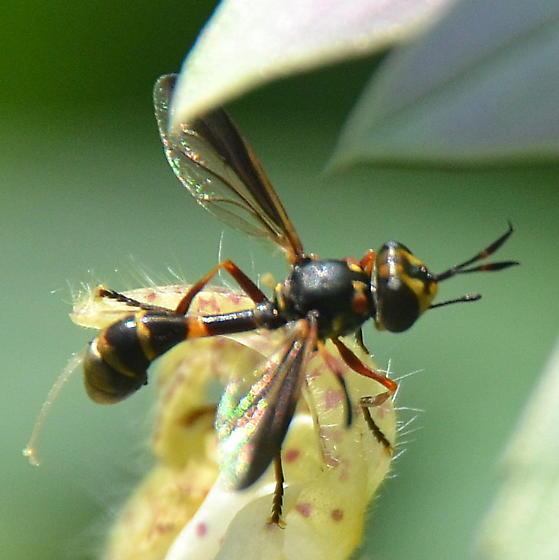 Thick-headed fly on Monarda punctata - Physoconops brachyrhynchus - male