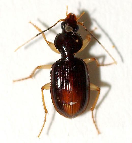 Half-white antennae carabid, - Stolonis intercepta