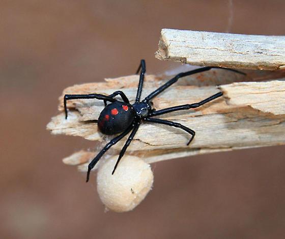 Black Widow With Egg Sack - Latrodectus mactans - female
