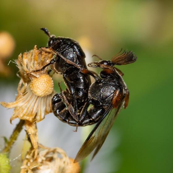 Ripiphorous sp. - Ripiphorus - male - female