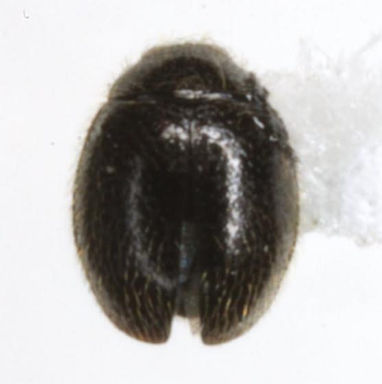 Stethorus sp. - Stethorus