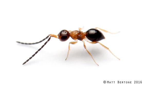 apterous Conostigmus - Conostigmus erythrothorax - female