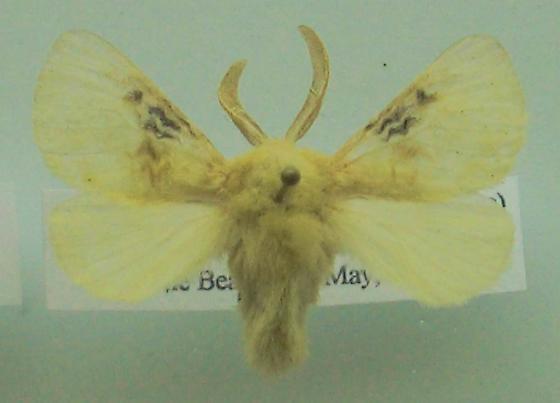M. crispata - Megalopyge crispata - male