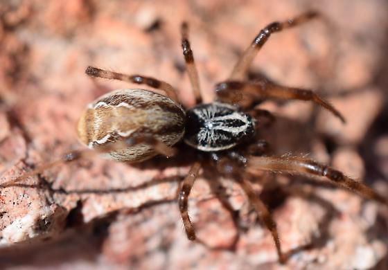 Desertshrub Spider - Diguetia canities - female
