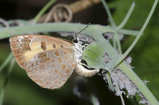 Harvester ovipositing in Woolly Maple Aphid, Neoprociphilus aceris, colony - Feniseca tarquinius - female