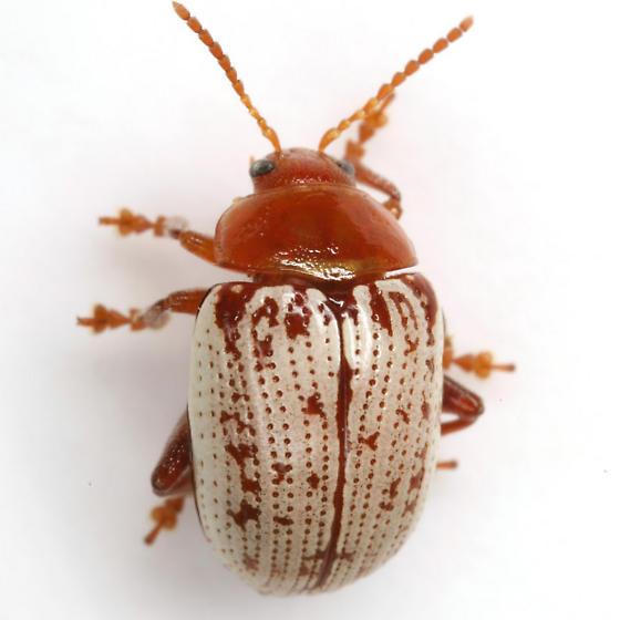Blepharida rhois (Forster) - Blepharida rhois