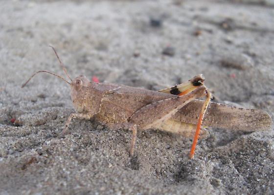 Seaside grasshopper - Trimerotropis maritima