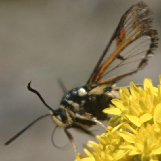 Clearwing - Albuna pyramidalis