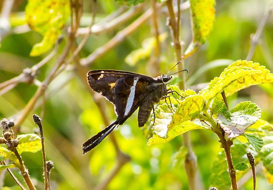 White-striped Longtail? - Chioides albofasciatus