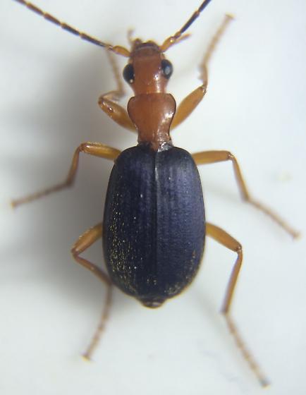 Brachinus - Brachinus fulminatus - female