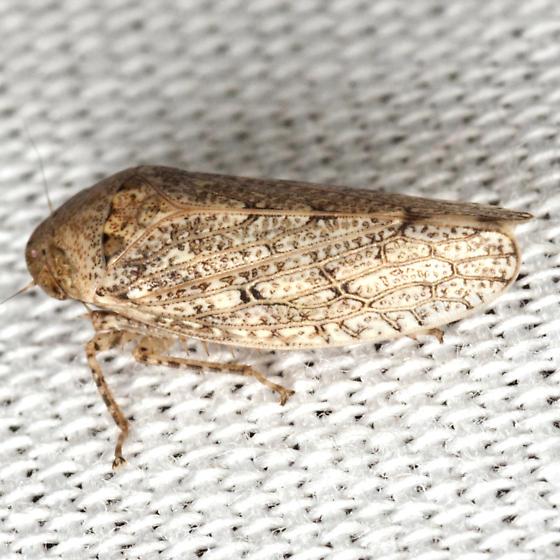 Gyponinae Leafhopper - Prairiana miliaris