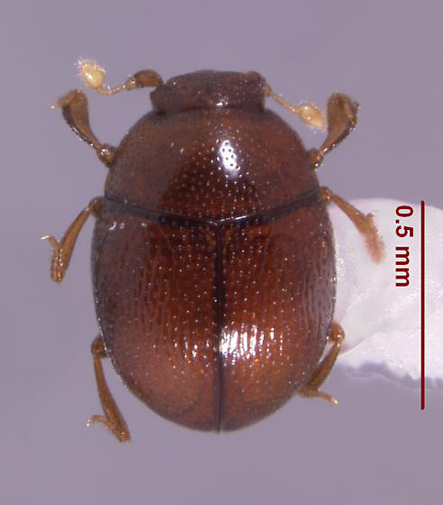 Bacanius (s.str.) punctiformis (J.L. LeConte 1853) - Bacanius punctiformis