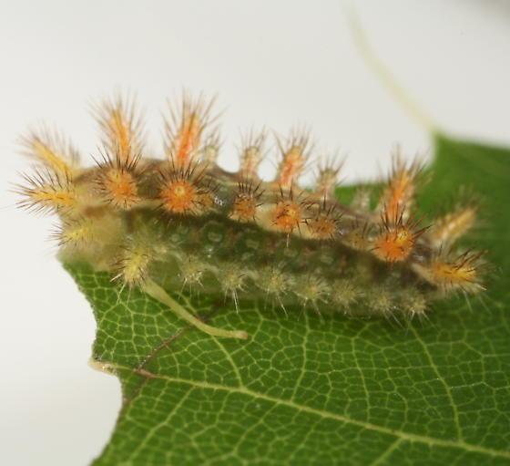 Bur oak slug cat - Euclea delphinii