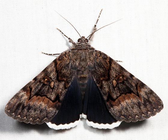 Epione Underwing - Catocala epione