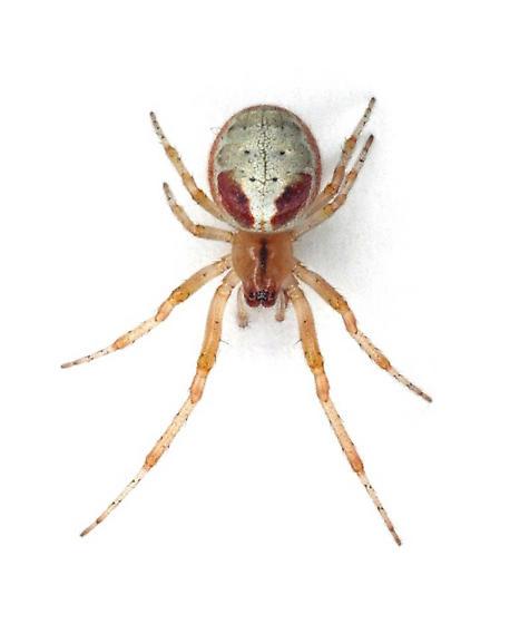 Zygiella atrica - female