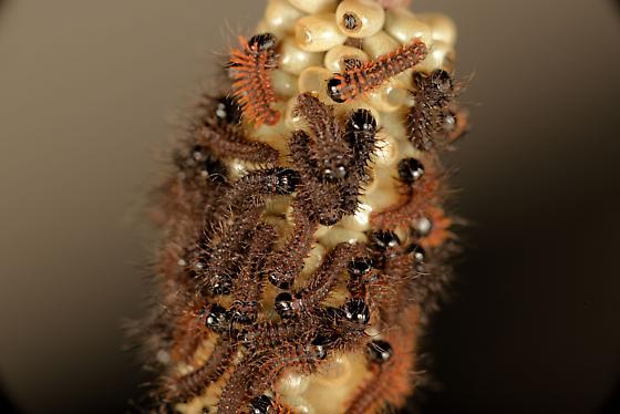 eggs hatching,what caterpillar - Hemileuca maia