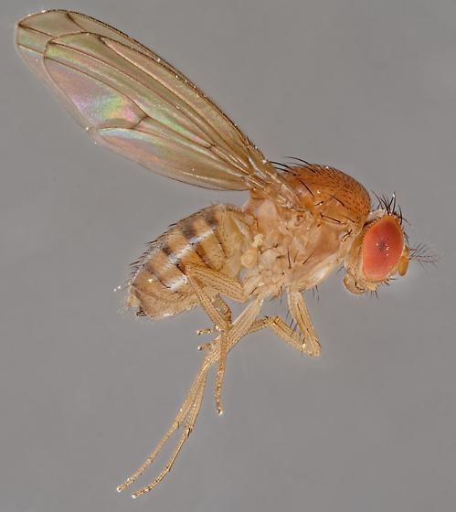 Drosophila - Drosophila tripunctata - female