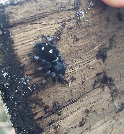 Smiley-face spider :-O - Phidippus regius