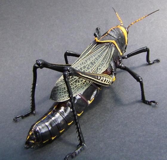 Taeniopoda eques - Grasshopper, Horse Lubber Striped antennae - Taeniopoda eques - female