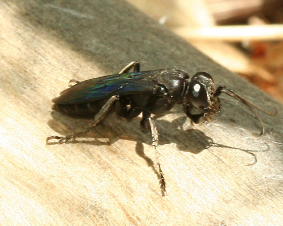 Large Black-Blue Wasp - Liris