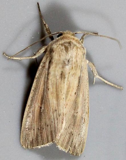 Phragmites Wainscot - Leucania phragmitidicola