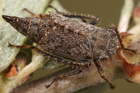 leafhopper - Lystridea