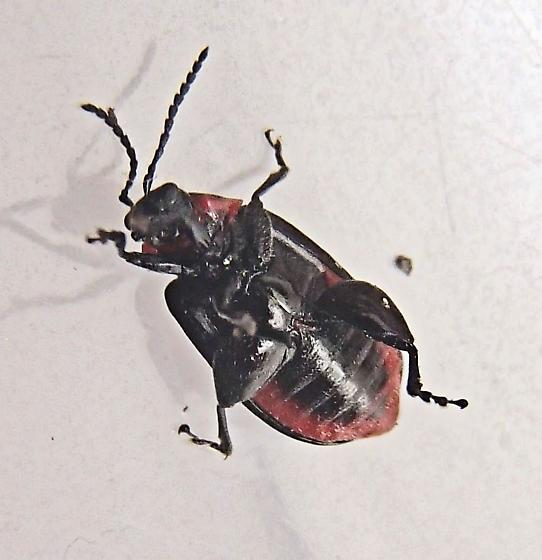 Kuschelina vians - female
