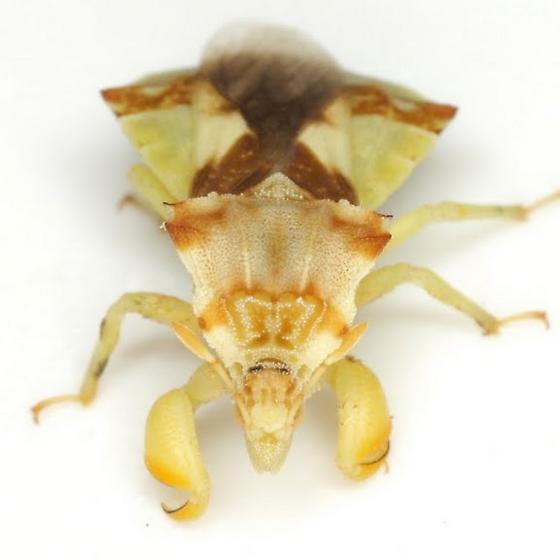 Phymata - Phymata fasciata