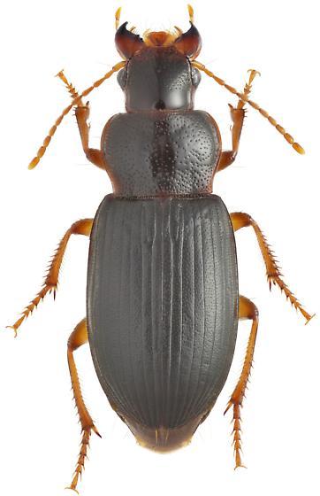 Ophonus rufibarbis - female
