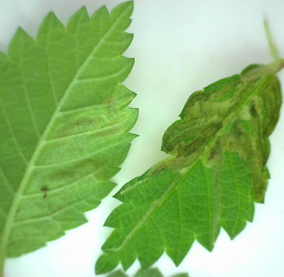 fly mine on Ulmus rubra - Agromyza aristata