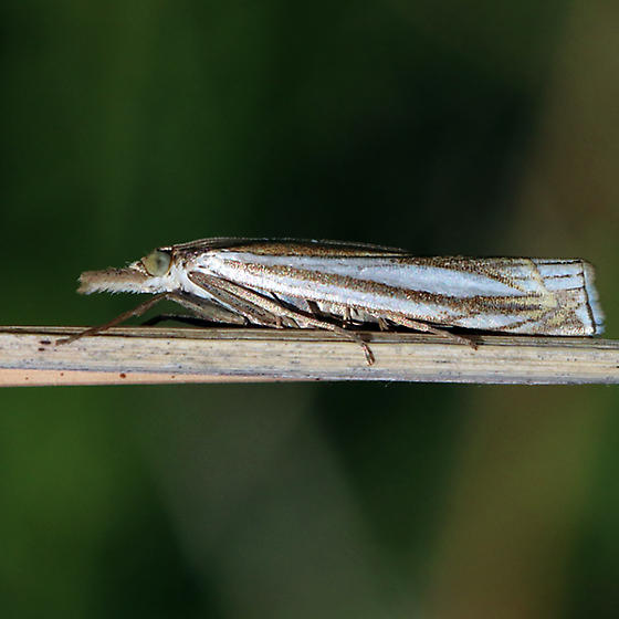Moth - Crambus
