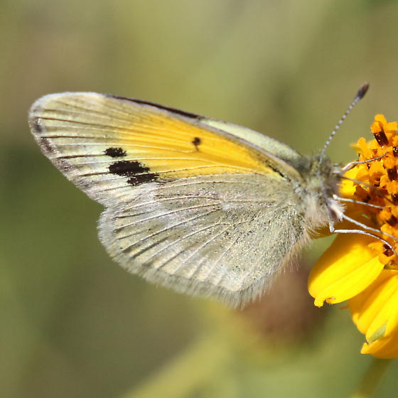 Dainty Sulfur(?) at Big Bend National Park - Nathalis iole