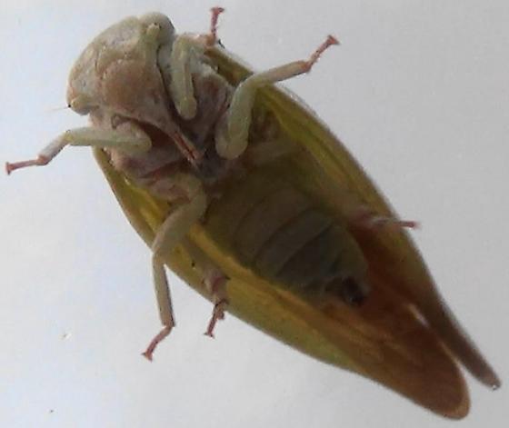 Southwestern Flatid Planthopper - Flatormenis saucia