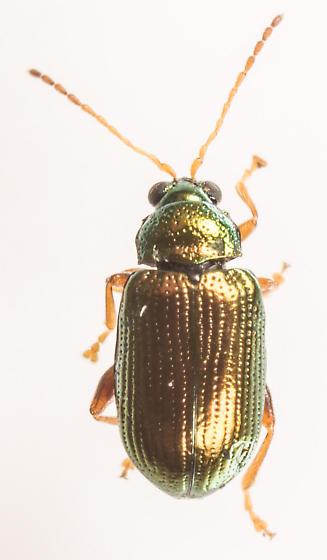 Beetle - Crepidodera nana - female