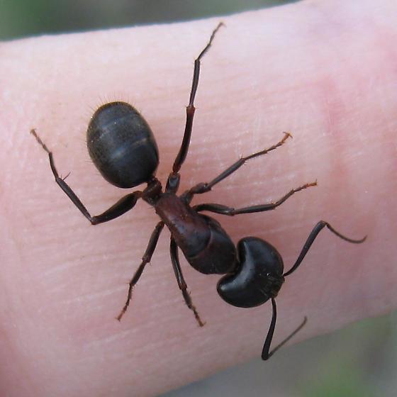 Formicidae 5-17-10 02b - Camponotus vicinus - female