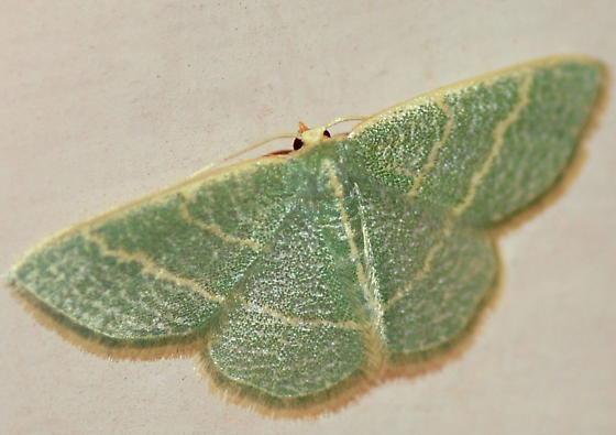 Chlorochlamys appellaria, 7073 - Chlorochlamys appellaria - female